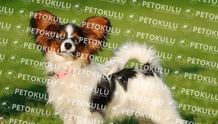 Papillon köpeği bakımı
