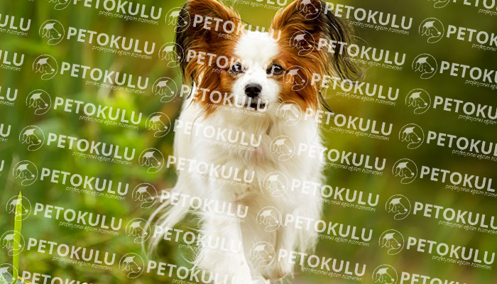 Papillon köpeği sağlık