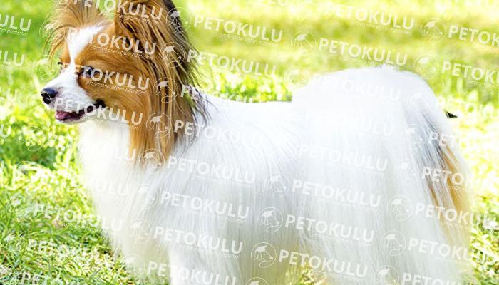 Papillon köpeği tarihçesi