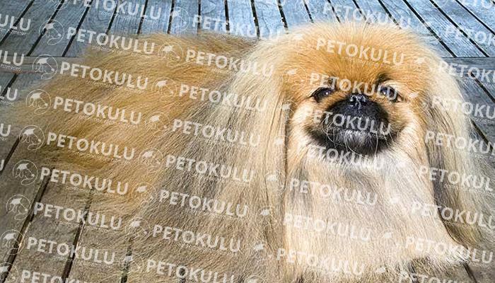 Pekinez (Pekingese) köpeği özellikleri, tarihçesi ve karakter yapısı