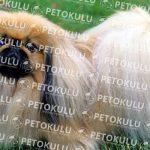 Pekinez (Pekingese) köpeği apartman dairesinde beslenebilir mi