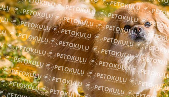 Pekinez (Pekingese) köpeği bakımı