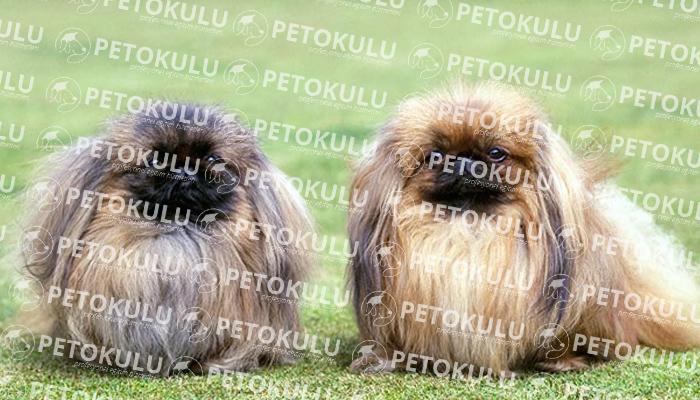 Pekinez (Pekingese) köpeği besleme