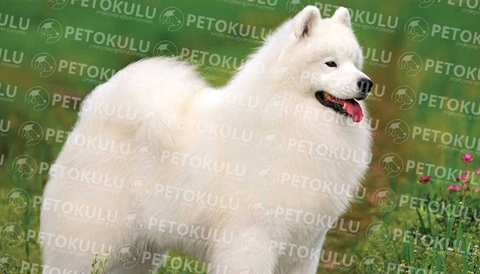 Samoyed köpeği özellikleri