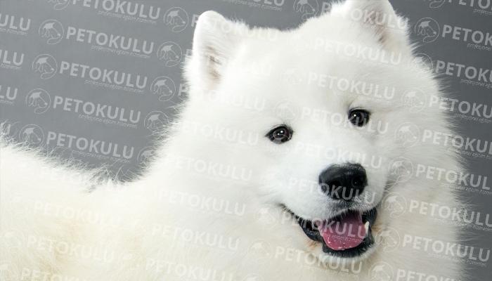 Samoyed köpeği bakım
