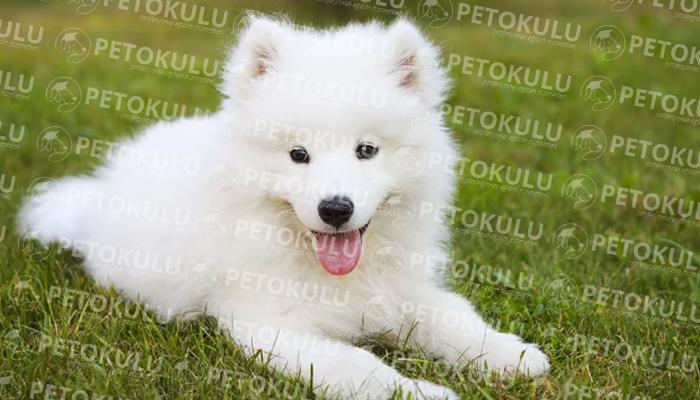Samoyed köpeği tarihçesi