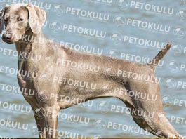 Weimaraner köpeği özellikleri, tarihçesi, karakter yapısı