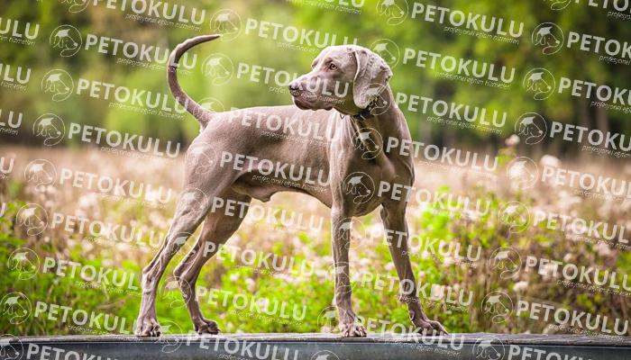 Weimaraner köpeği bakımı