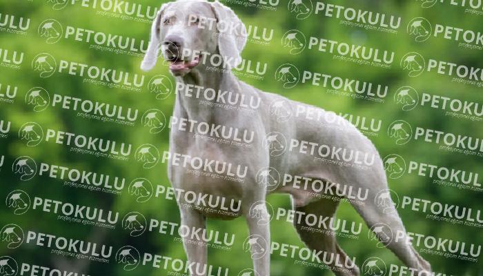 Weimaraner köpeği tarihçesi